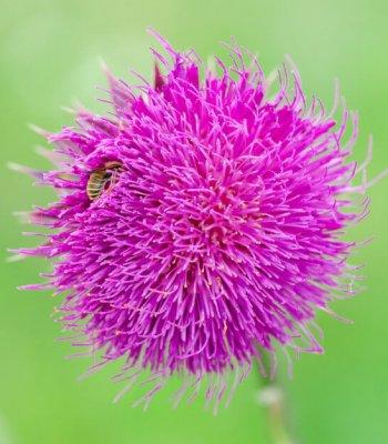 Cardo mariano con abeja